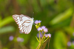 Striped Albatross butterfly Royalty Free Stock Photo