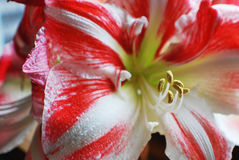 Striped Amaryllis in Bloom. Candy cane striped amaryllis flower in bloom Stock Photography