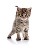 Striped amusing kitten. Stock Photos