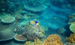 Striped angel fish in coral reef. Tropical seashore inhabitants underwater photo. Coral reef animal. Warm sea nature. Colorful sea fish and corals. Undersea stock photos