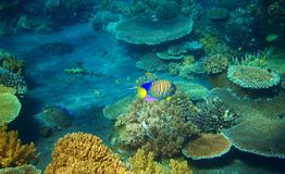 Striped angel fish in coral reef. Tropical seashore inhabitants underwater photo. Coral reef animal. Warm sea nature. Colorful sea fish and corals. Undersea Stock Photography