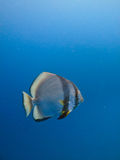 Striped Angelfish at Great Barrier Reef Australia Royalty Free Stock Image