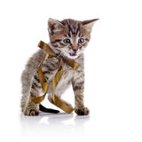 Striped angry kitten with a bow. Royalty Free Stock Images