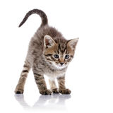Striped angry kitten. Royalty Free Stock Images