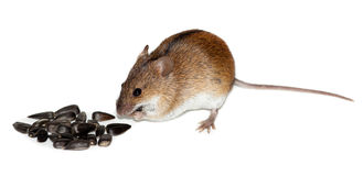 striped мышь поля apodemus agrarius Стоковые Фотографии RF