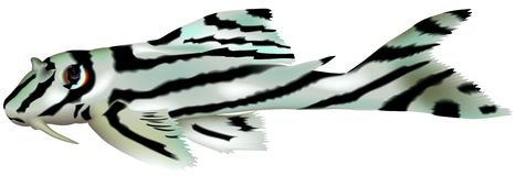 Striped Aquarium Fish Stock Photo