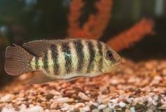 Striped aquarium fish Cichlid Group Royalty Free Stock Photography