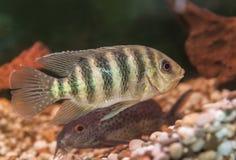 Striped aquarium fish Cichlid Group Royalty Free Stock Photos