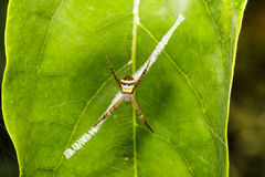 Striped argiope spider Stock Images