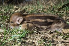 Striped baby boar is sleeping in the grass. Stock Photography