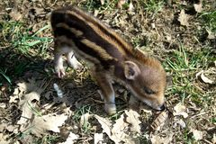 Striped baby boar is sleeping in the grass. Stock Image