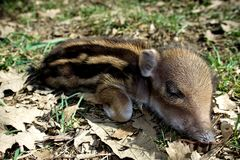 Striped baby boar is sleeping in the grass. Royalty Free Stock Images