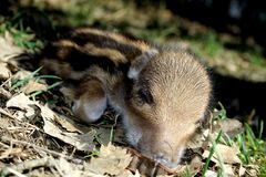 Striped baby boar is sleeping in the grass. Royalty Free Stock Photos