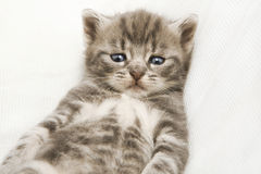 Striped baby cat Stock Image
