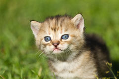Striped baby kitten. On the green grass Stock Image