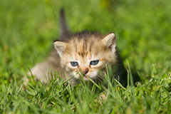 Striped baby kitten. On the green grass Stock Photos