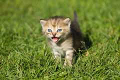 Striped baby kitten. Meowing baby kitten on the green grass Stock Photography