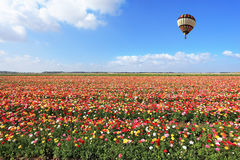 The striped balloon flies over a buttercups. Royalty Free Stock Image