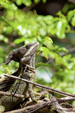 Striped Basilisk Stock Photography