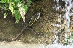 Striped basilisk lizard in natural habitat