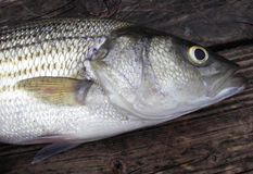 Striped Bass royalty free stock photography