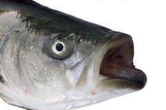 Striped Bass. Closeup of the head of a striped Bass caught in California Royalty Free Stock Image