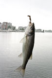 Striped bass. With hook inside open mouth Royalty Free Stock Image