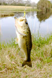 Striped Bass or Big Mouth on a hook with  a jig Royalty Free Stock Photo