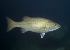 Striped Bass. This striped bass can be found in freshwater lakes all across the Southeast stock images