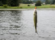 Striped bass fish caught on the line. Striped bass fish caught on the fisherman`s line. Sport fishing for recreational fun and leisure. Pan fish caught out of Stock Images