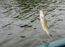 Striped bass fish caught on the line. Striped bass fish caught on the fisherman`s line. Sport fishing for recreational fun and leisure. Pan fish caught out of Royalty Free Stock Image