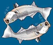 Striped Bass. Set of twin striped bass Royalty Free Illustration