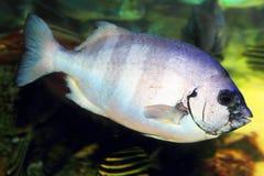 Striped beakfish Stock Photo