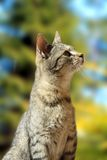 Curious striped cat Stock Photography