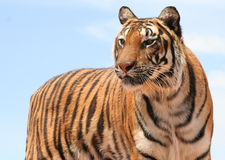 Striped Beauty. Female Tiger standing and looking off at an angle with blue sky in background royalty free stock photography
