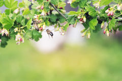 Striped bee flies round  flower Royalty Free Stock Photo
