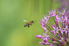 striped bee flies round purple flower Stock Images