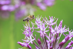 Striped bee flies round purple flower Royalty Free Stock Photos