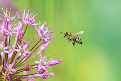 Striped bee flies to the flower purple ornamental onion Royalty Free Stock Image