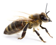 Striped bee. Royalty Free Stock Images