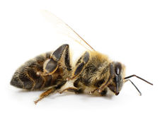 Striped bee. Royalty Free Stock Photo