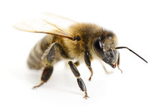 Striped bee. Stock Photos