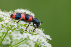 Striped beetle Royalty Free Stock Image