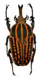 Striped beetle Stock Images