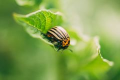 Striped Beetle - Leptinotarsa Decemlineata Is A Serious Pest Of stock image