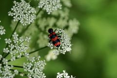Striped beetle on white flower in nature Royalty Free Stock Photo