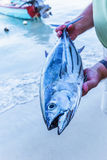 Striped Belly Tuna Royalty Free Stock Image
