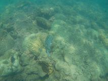 Striped black and white fish swimming over coral reef royalty free stock image