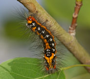 Striped black-yellow caterpillar Royalty Free Stock Image