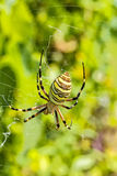 Striped black and yellow wasp spider in the cobweb, macro. Striped black and yellow wasp spider Argiope bruennichi in the cobweb on blurred background of green Stock Images